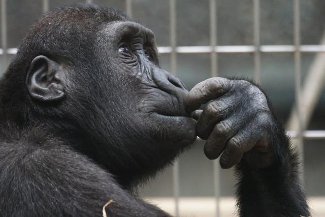 【イメージ画像】考えるチンパンジー