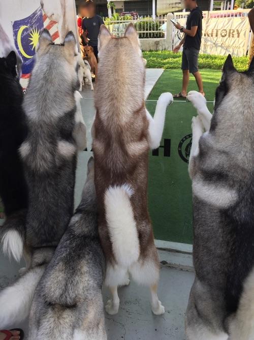 【画像】HUSKITORY 犬の後ろ姿